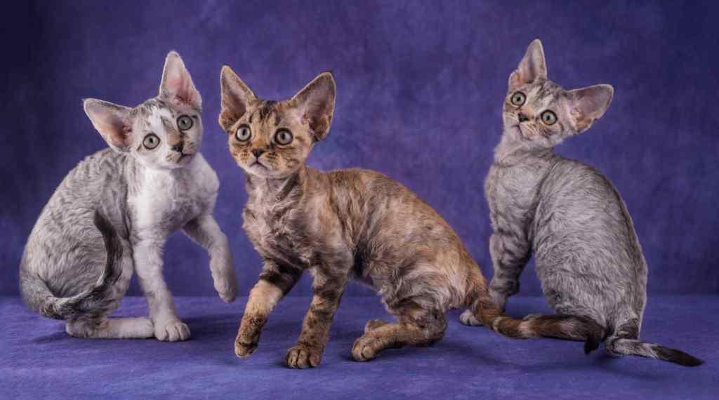 10种日常生活中最常见的纯种猫品种插图(8)