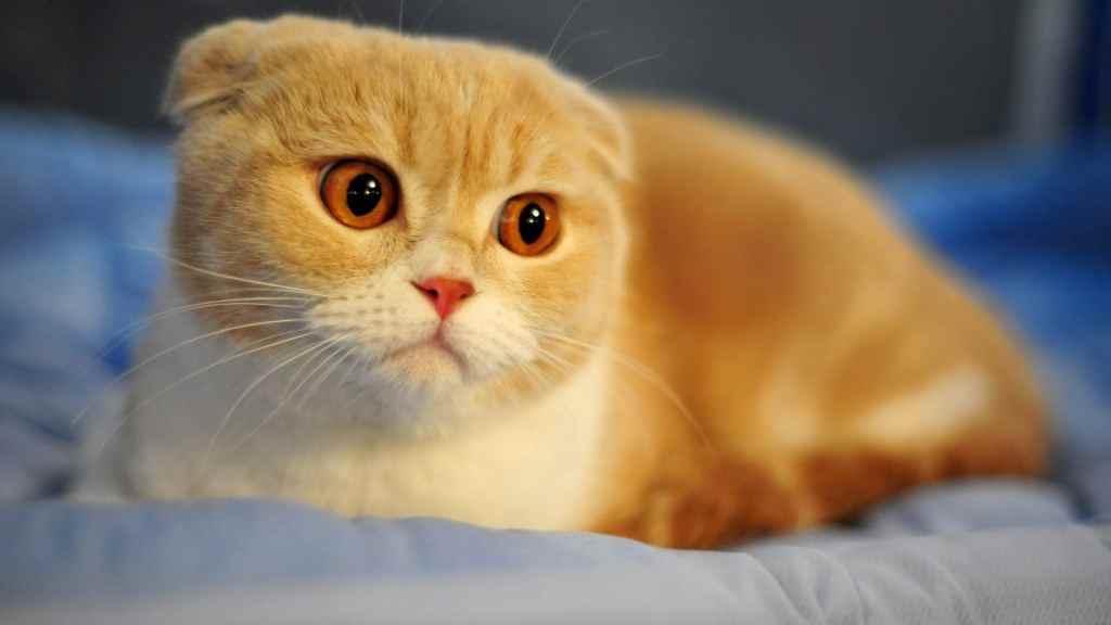 10种日常生活中最常见的纯种猫品种插图(5)