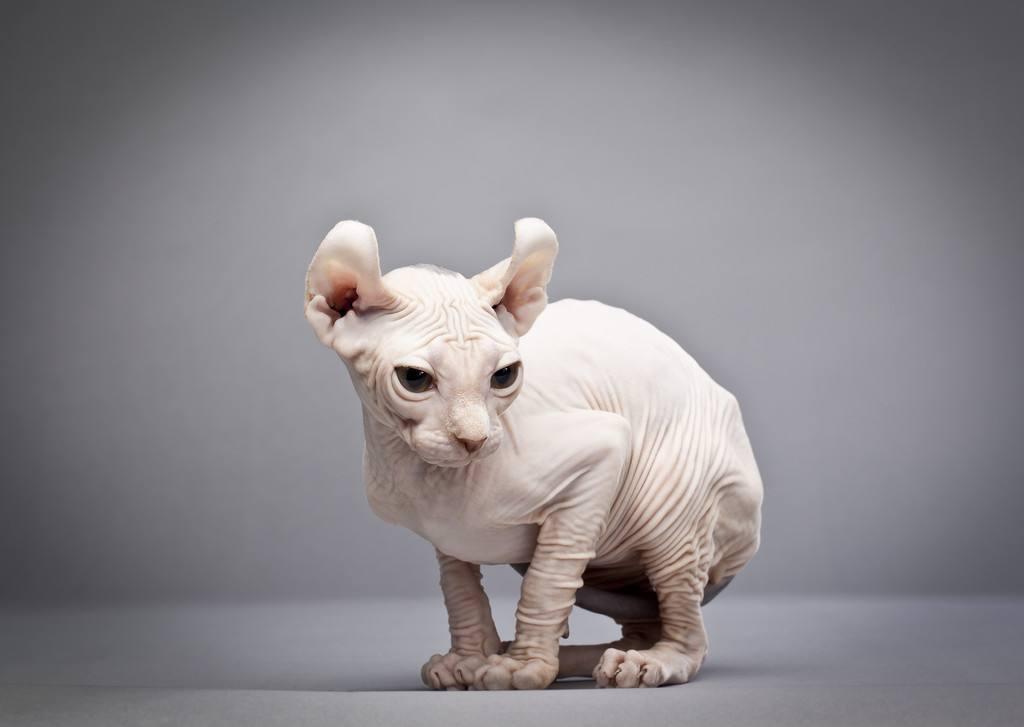 10种日常生活中最常见的纯种猫品种插图(7)