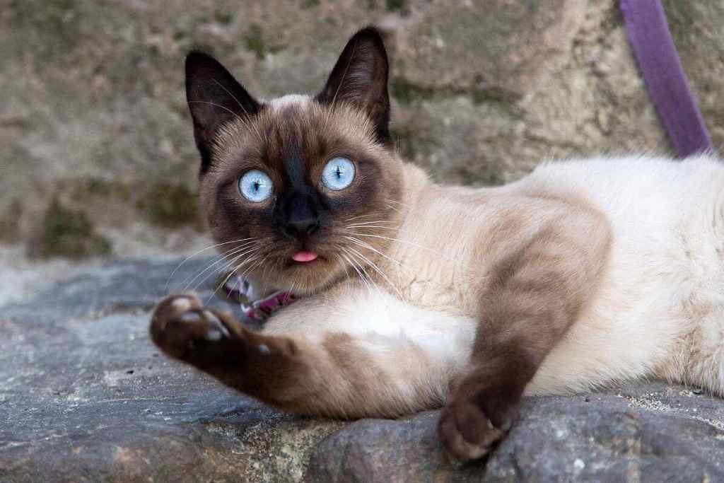 10种日常生活中最常见的纯种猫品种插图(6)