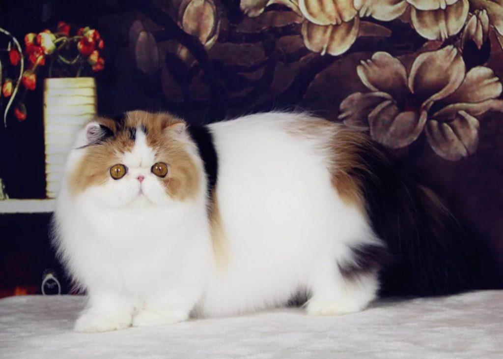 10种日常生活中最常见的纯种猫品种插图(3)