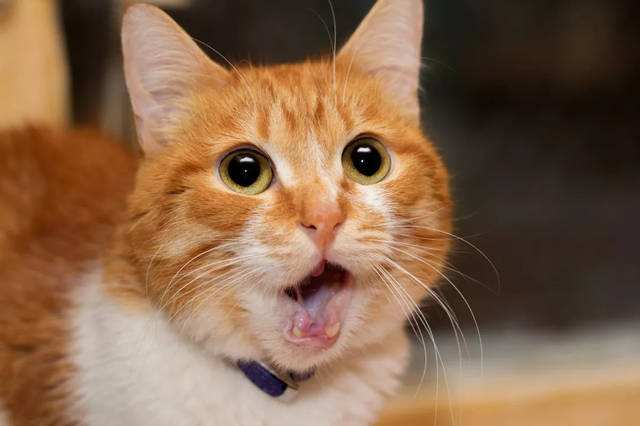 新猫到家胆小怕人?如何培养它的好性格插图
