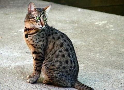 猫咪品种介绍|埃及猫插图(5)