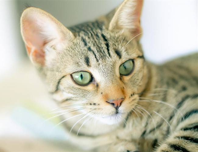 猫咪品种介绍|埃及猫插图(4)