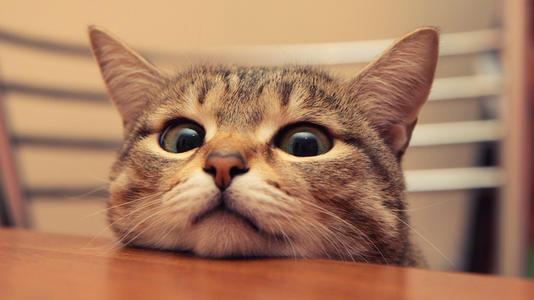 猫咪品种介绍|狸花猫插图(2)