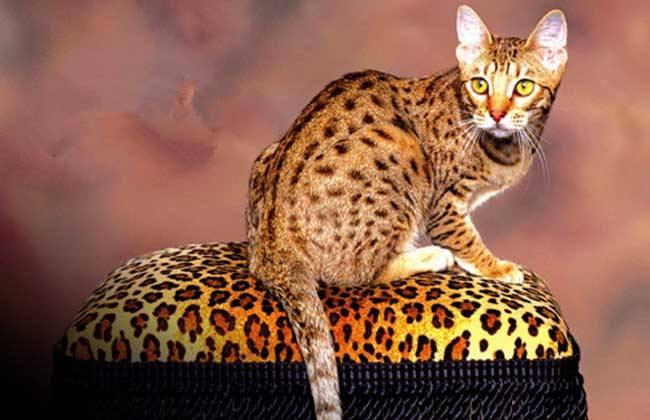 猫咪品种介绍|埃及猫插图(3)