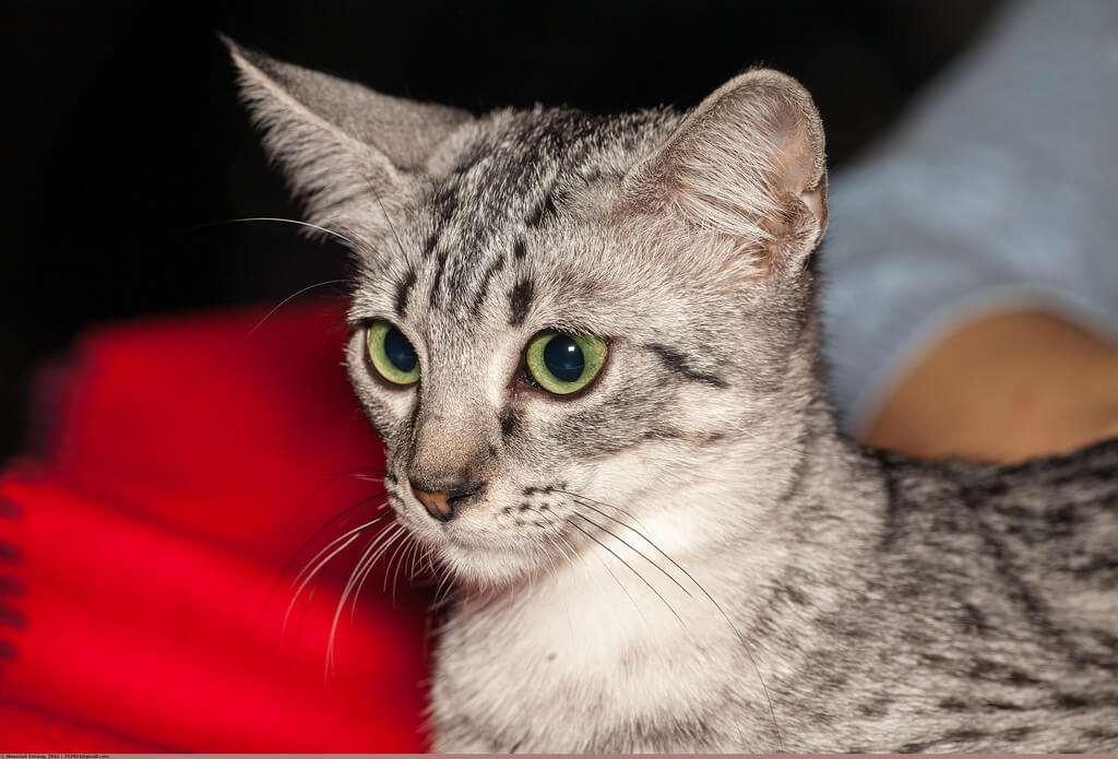 猫咪品种介绍|埃及猫插图(2)
