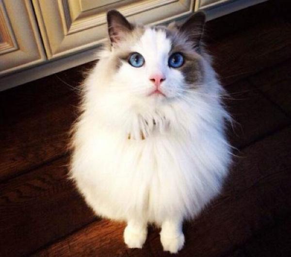 如何挑选布偶猫插图(4)