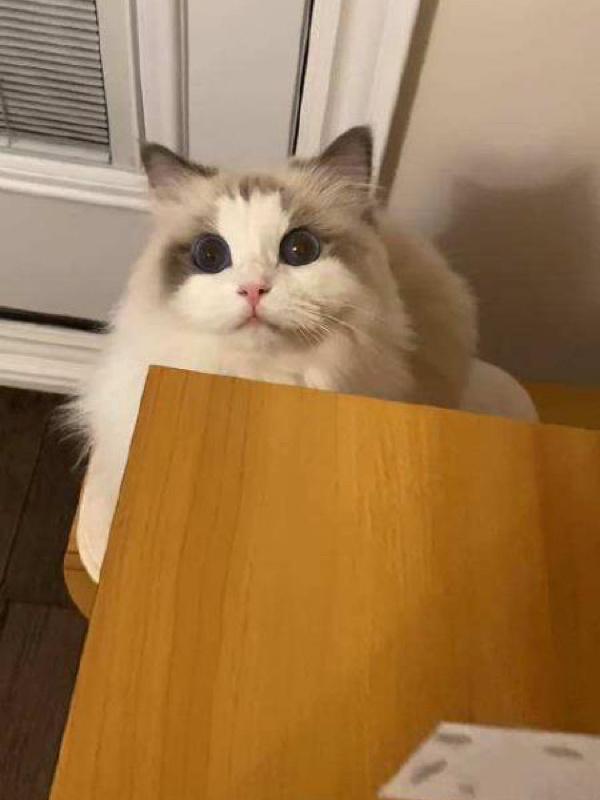 如何挑选布偶猫插图(2)