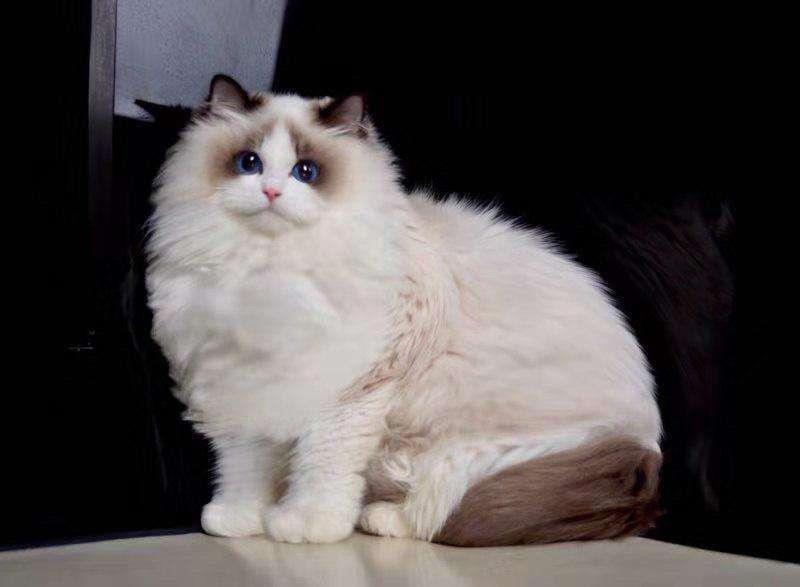 如何挑选布偶猫插图(1)