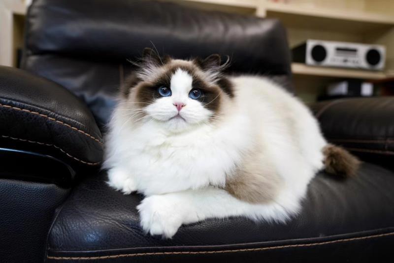 如何挑选布偶猫插图