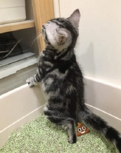 家养小猫咪竟然站着上厕所,网友:比老公还爱干净插图(1)