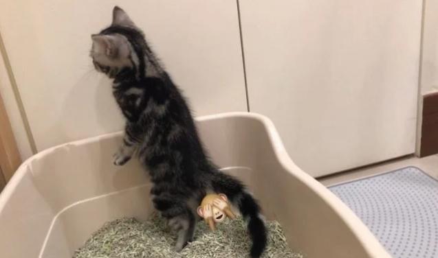 家养小猫咪竟然站着上厕所,网友:比老公还爱干净插图