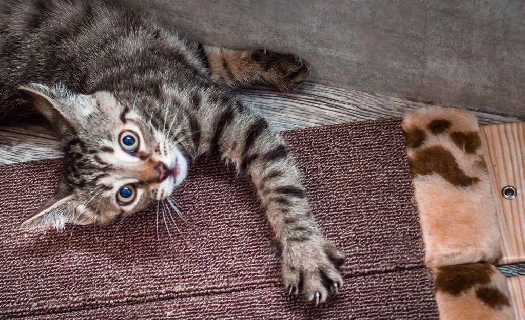 养猫的20个终极指南,养猫达人必备!插图(4)