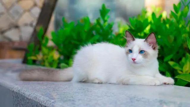 流浪布偶猫,3次主动上门求收养,还带着一肚子小猫,这啥运气?插图