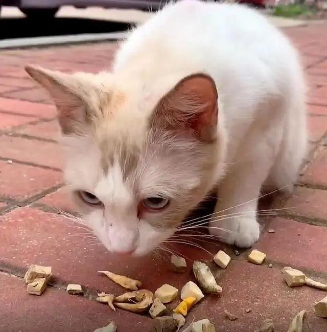 流浪布偶猫,3次主动上门求收养,还带着一肚子小猫,这啥运气?插图(5)