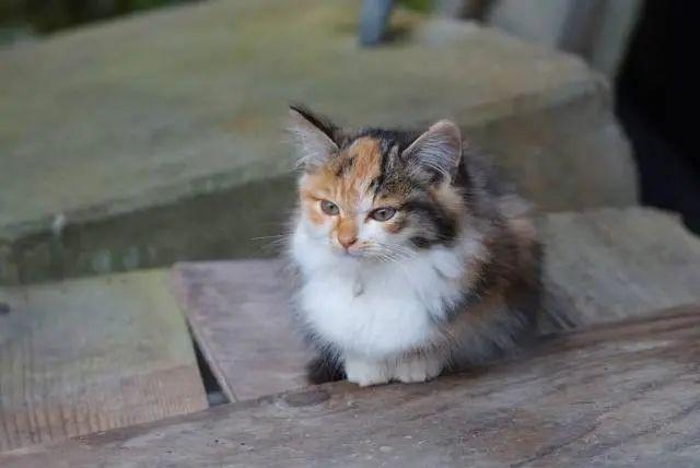 猫咪为什么会得猫藓,什么原因造成的,怎么治疗插图(2)