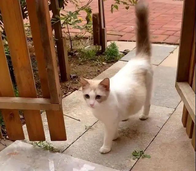 流浪布偶猫,3次主动上门求收养,还带着一肚子小猫,这啥运气?插图(3)