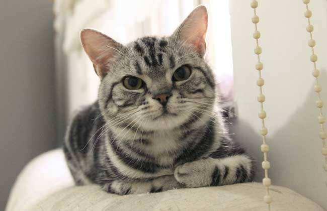 猫咪品种介绍|美国短毛猫插图(5)