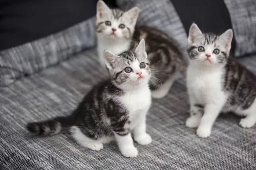 猫咪品种介绍|美国短毛猫插图(3)