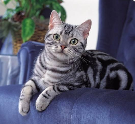 猫咪品种介绍|美国短毛猫插图(2)