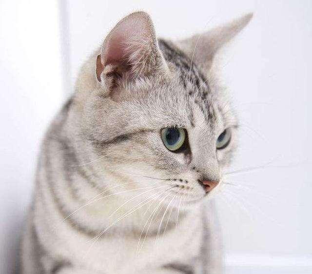 猫咪品种介绍|美国短毛猫插图(1)