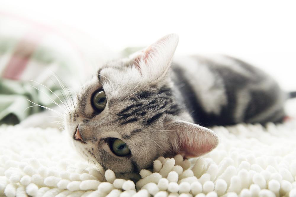 猫咪品种介绍|美国短毛猫插图