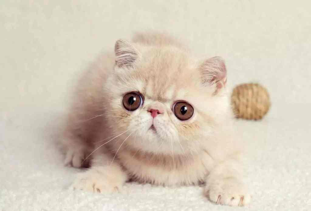 10种日常生活中最常见的纯种猫品种插图(2)