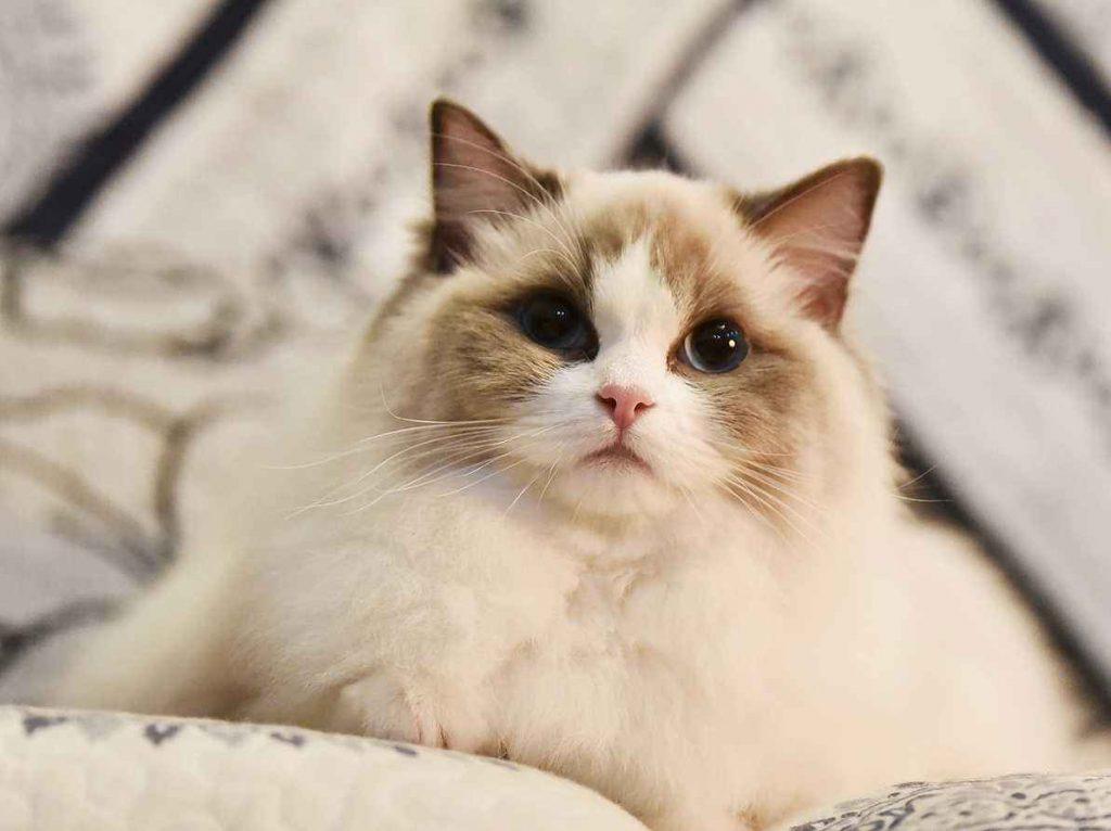 猫咪品种介绍|布偶猫插图