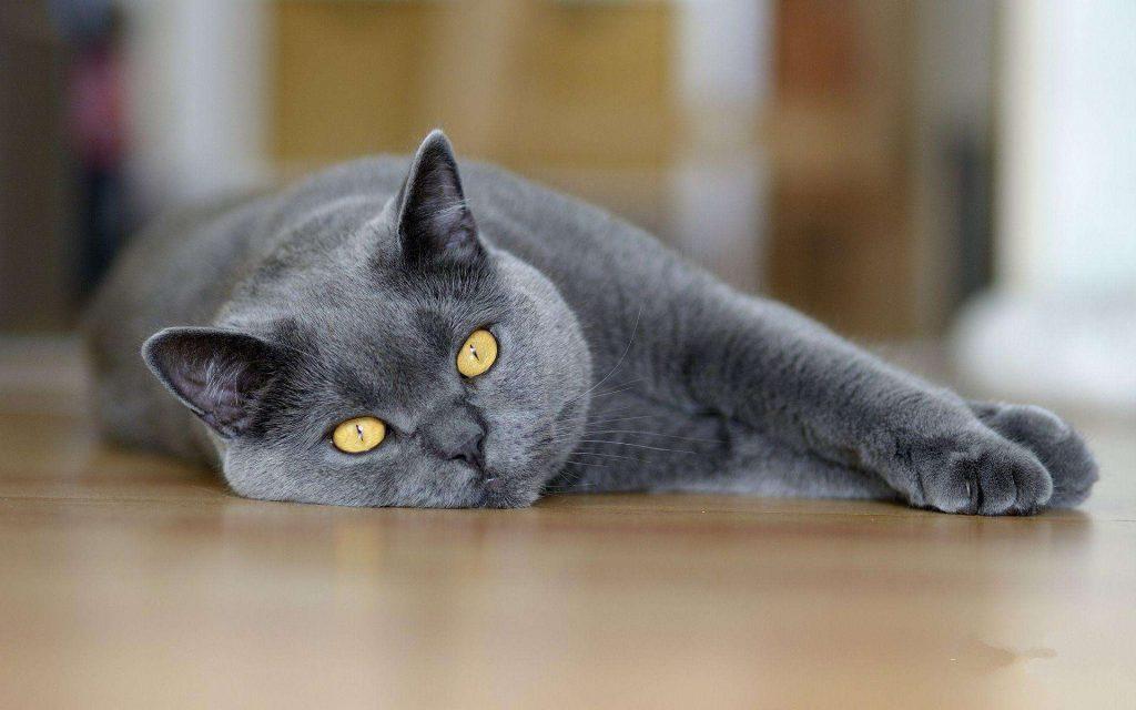 10种日常生活中最常见的纯种猫品种插图(1)