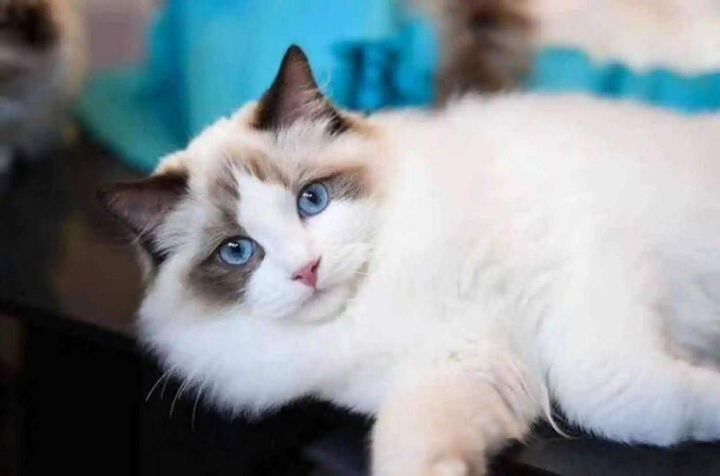猫咪品种介绍|布偶猫插图(1)