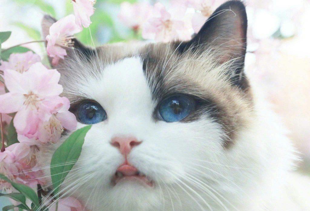 猫咪品种介绍|布偶猫插图(2)