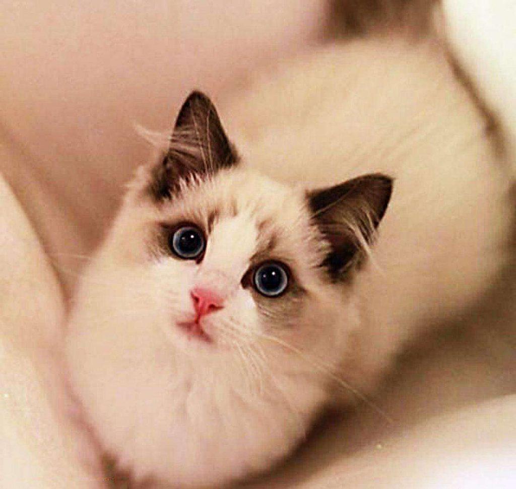 猫咪品种介绍|布偶猫插图(4)