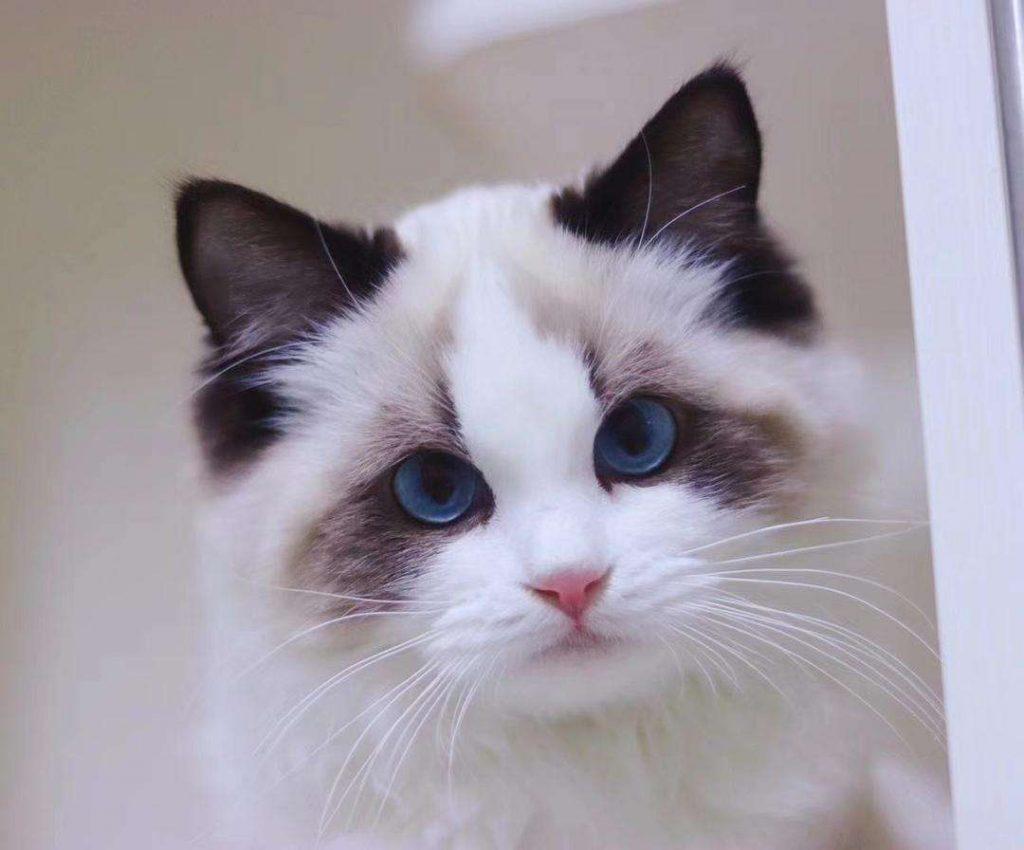 猫咪品种介绍|布偶猫插图(3)