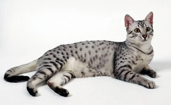 猫咪品种介绍|埃及猫插图