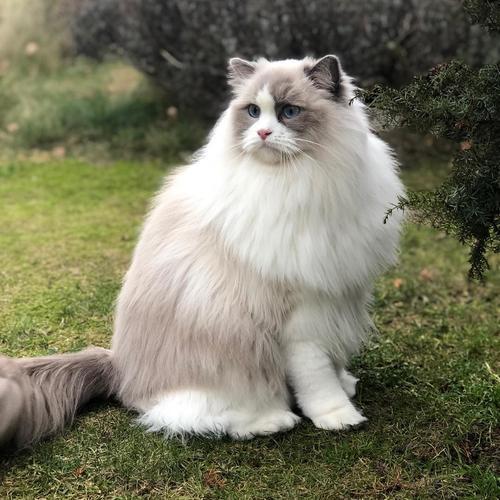 猫咪品种介绍|布偶猫插图(5)