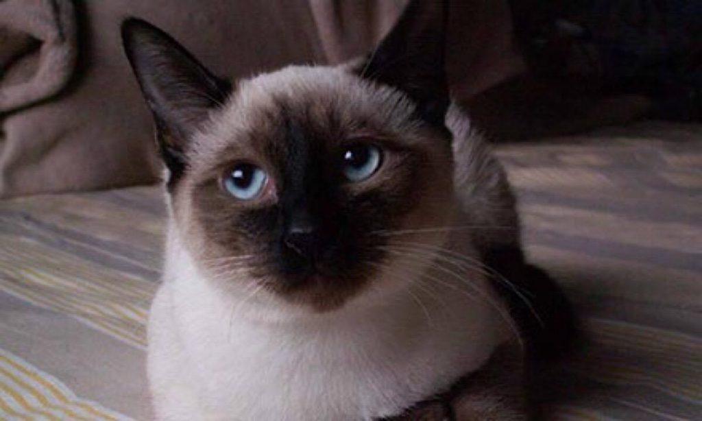 猫咪品种介绍|暹罗猫插图(5)