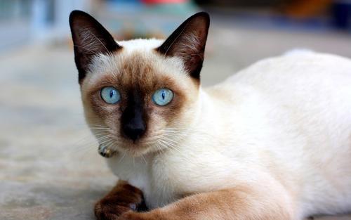 猫咪品种介绍|暹罗猫插图(4)