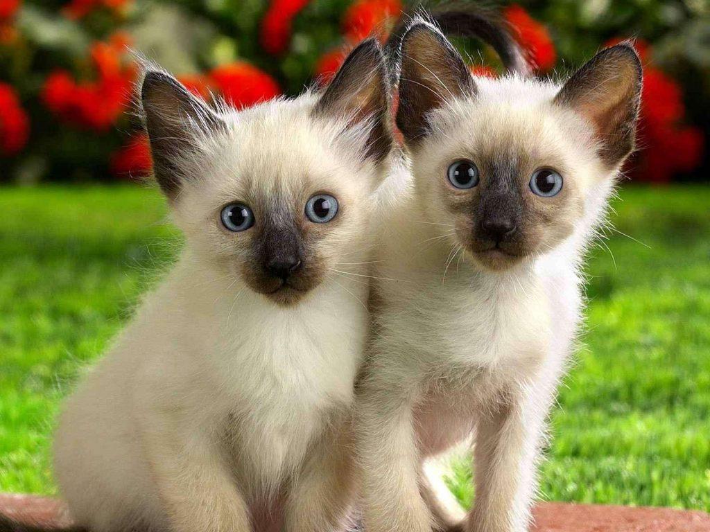 猫咪品种介绍|暹罗猫插图(2)