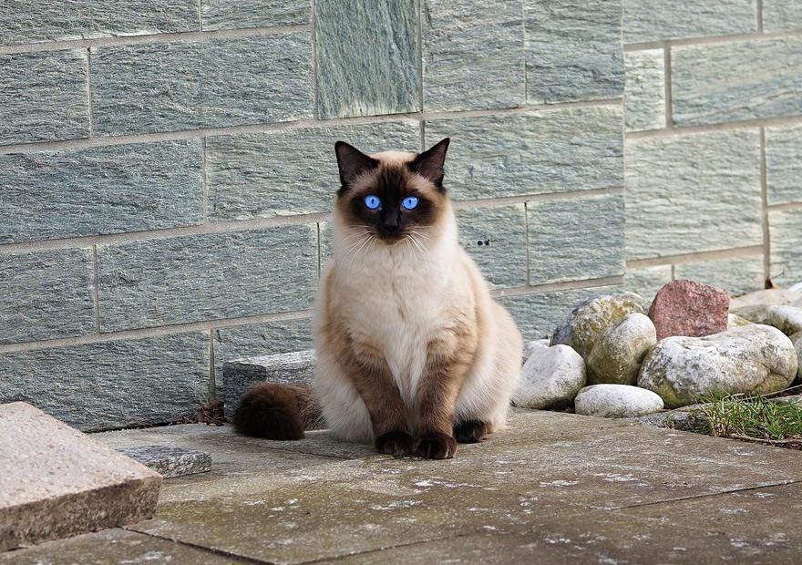猫咪品种介绍|暹罗猫插图