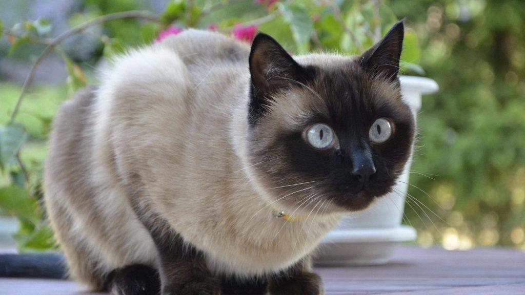 猫咪品种介绍|暹罗猫插图(3)