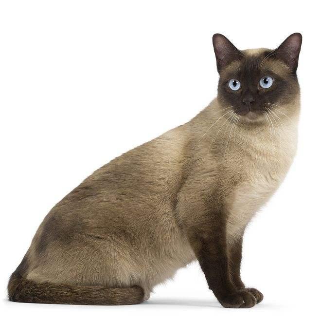 猫咪品种介绍|暹罗猫插图(1)