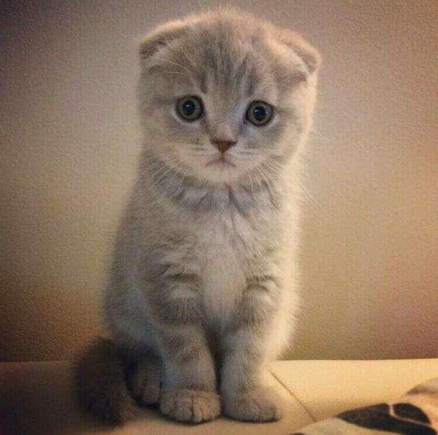 猫咪品种介绍|苏格兰折耳猫插图(5)
