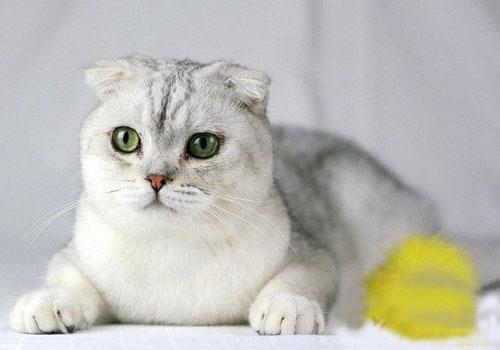 猫咪品种介绍|苏格兰折耳猫插图(4)