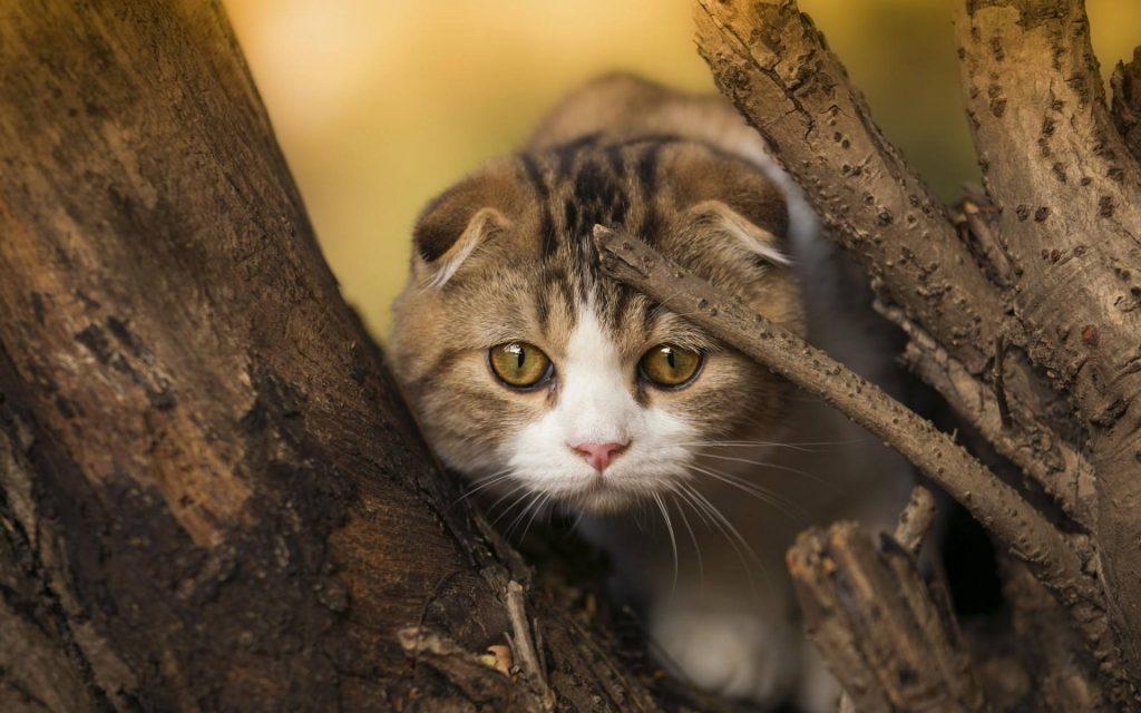 猫咪品种介绍|苏格兰折耳猫插图(3)