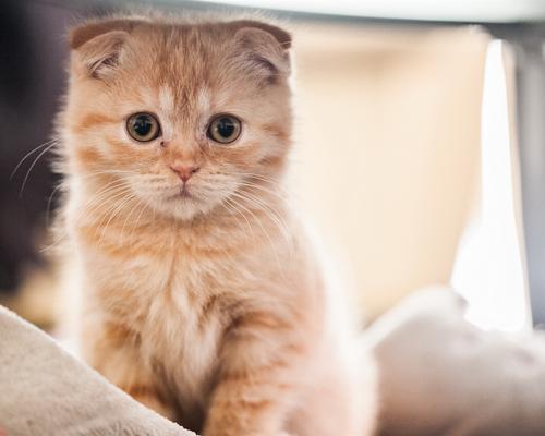 猫咪品种介绍|苏格兰折耳猫插图