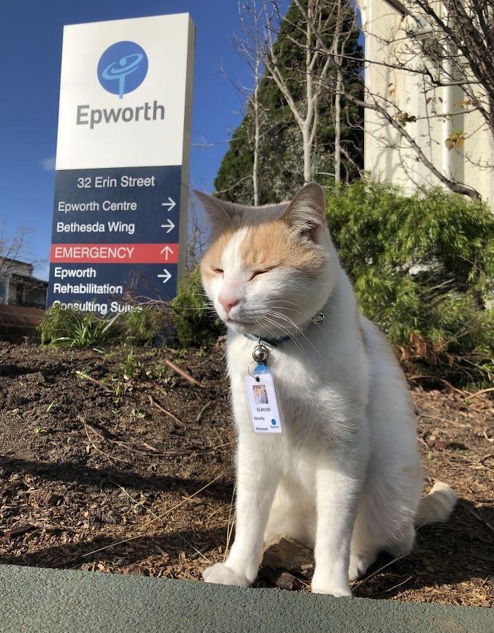 """猫咪为了""""应聘""""医院安保员,坚持全年无休来到在医院门口蹲守插图(1)"""