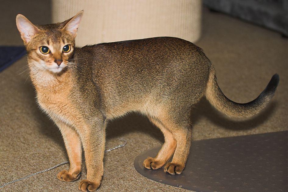 猫咪品种介绍|阿比西尼亚猫插图(5)
