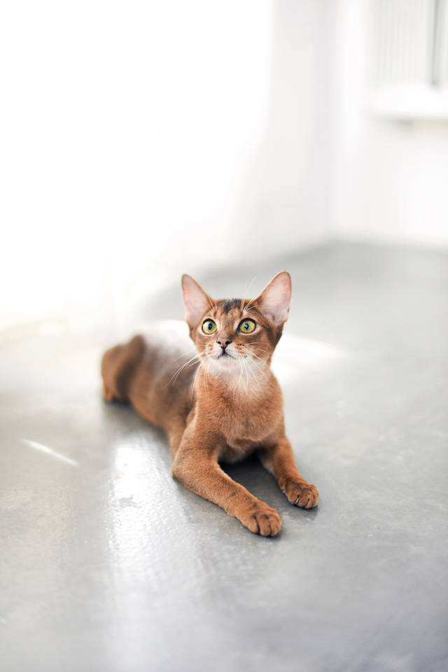 猫咪品种介绍|阿比西尼亚猫插图(2)