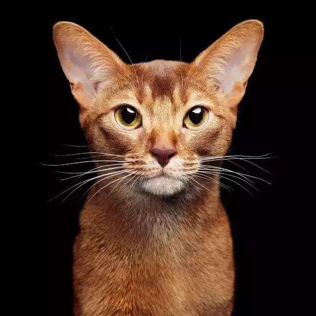猫咪品种介绍|阿比西尼亚猫插图(1)